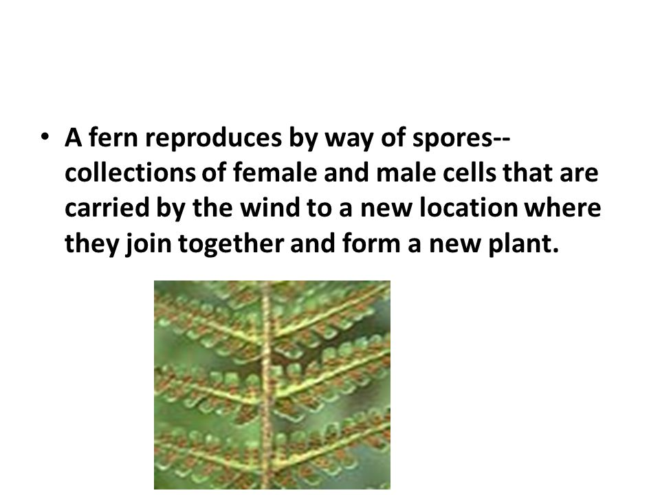A fern reproduces by way of spores--collections of female and male cells that are carried by the wind to a new location where they join together and form a new plant.