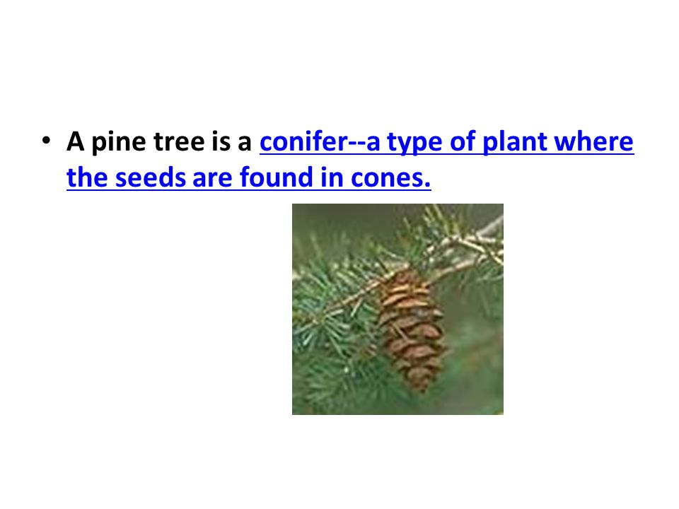 A pine tree is a conifer--a type of plant where the seeds are found in cones.