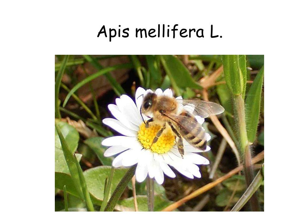 Apis mellifera L. Apis mellifera L.