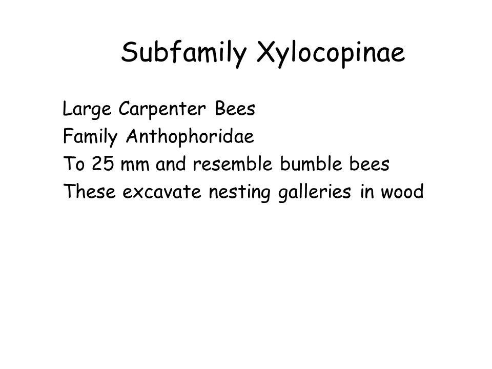 Subfamily Xylocopinae