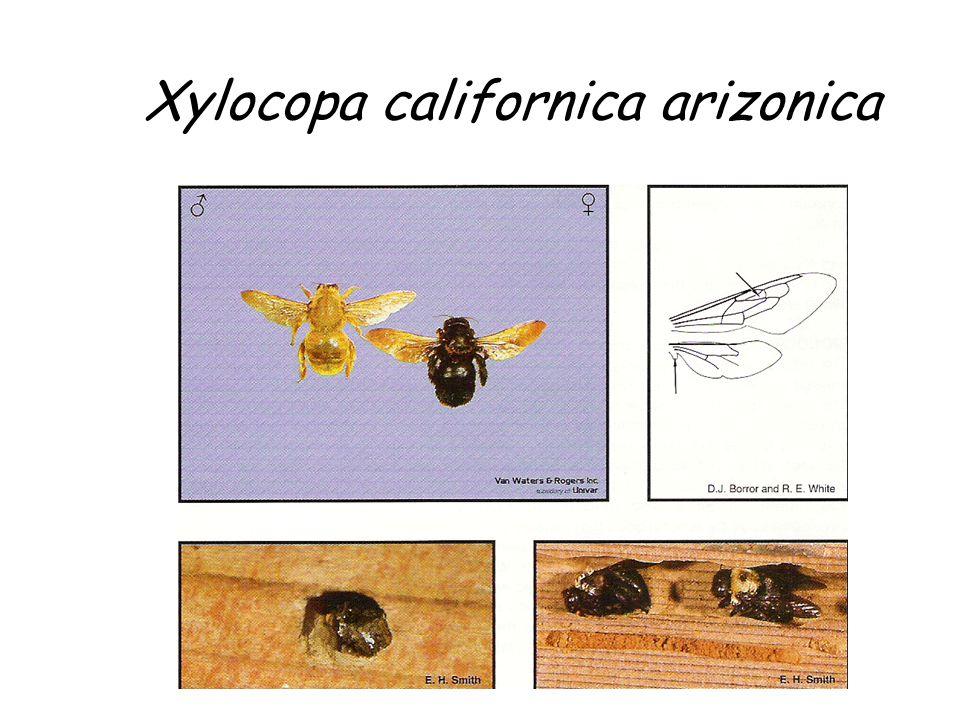 Xylocopa californica arizonica