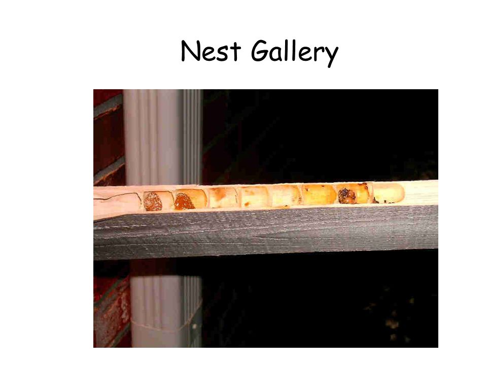 Nest Gallery Large carpenter bee nest gallery