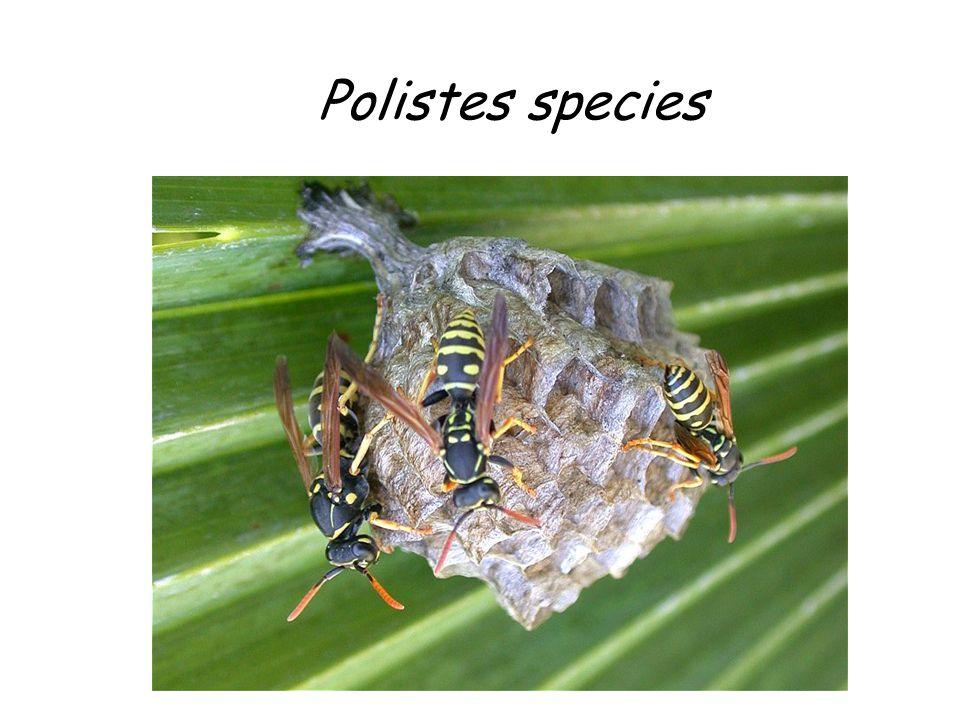 Polistes species Polistes species