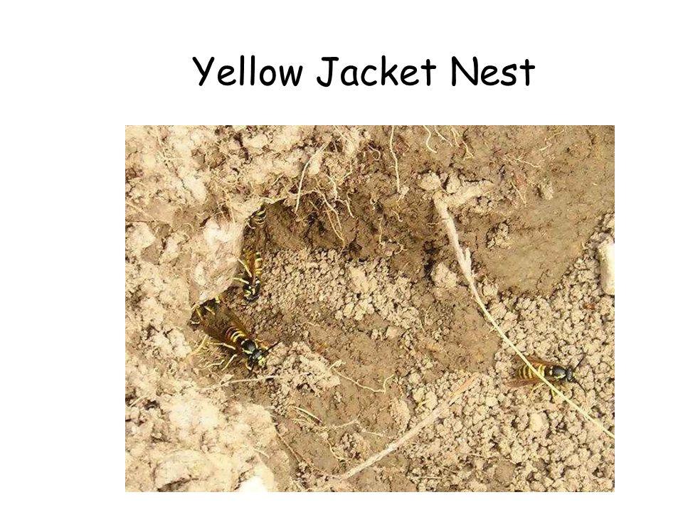 Yellow Jacket Nest Yellow Jacket Nest