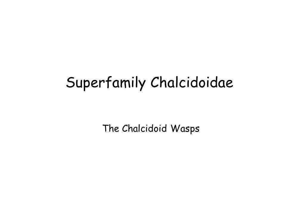 Superfamily Chalcidoidae