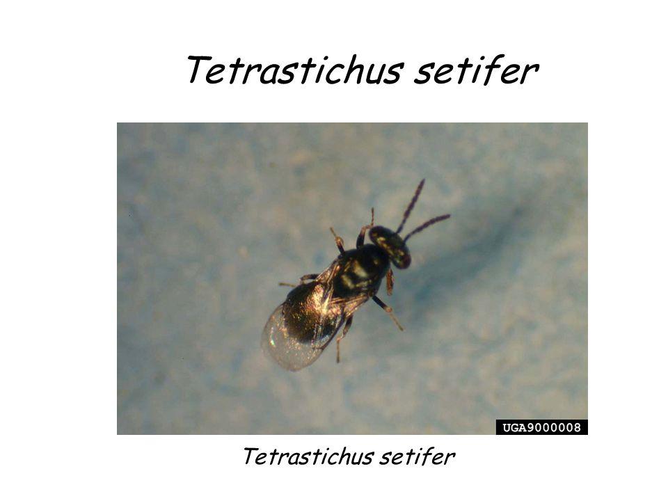 Tetrastichus setifer Tetrastichus setifer Tetrastichus setifer