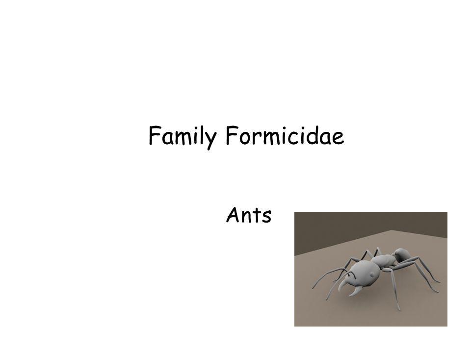 Family Formicidae Ants Family Formicidae Ants