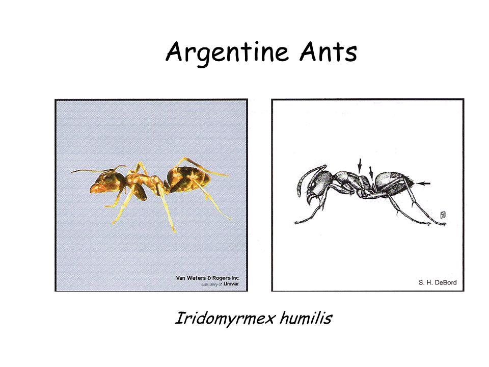 Argentine Ants Argentine Ant Iridomyrmex humilis Iridomyrmex humilis