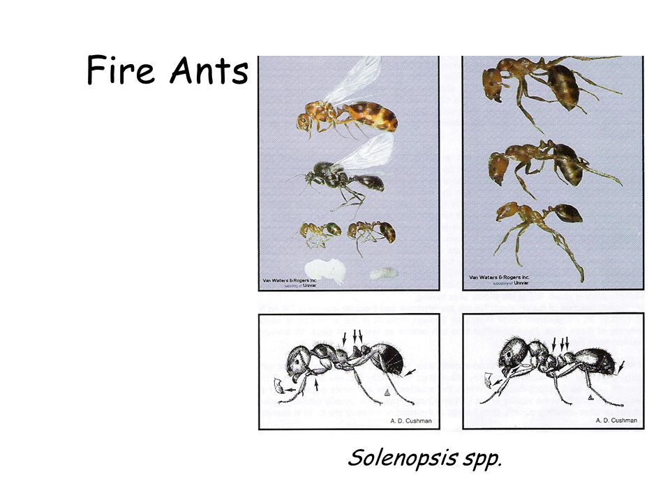 Fire Ants Fire Ants Solenopsis spp. Solenopsis spp.