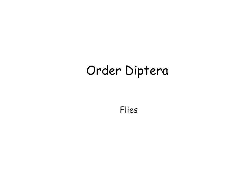 Order Diptera Flies Order Diptera Flies