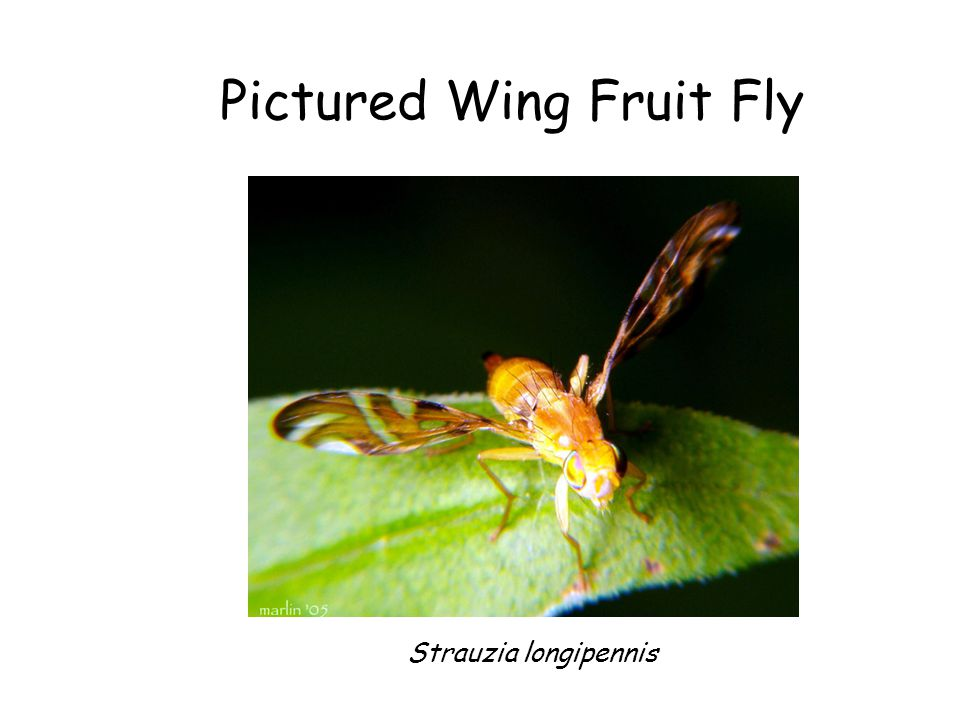 Pictured Wing Fruit Fly