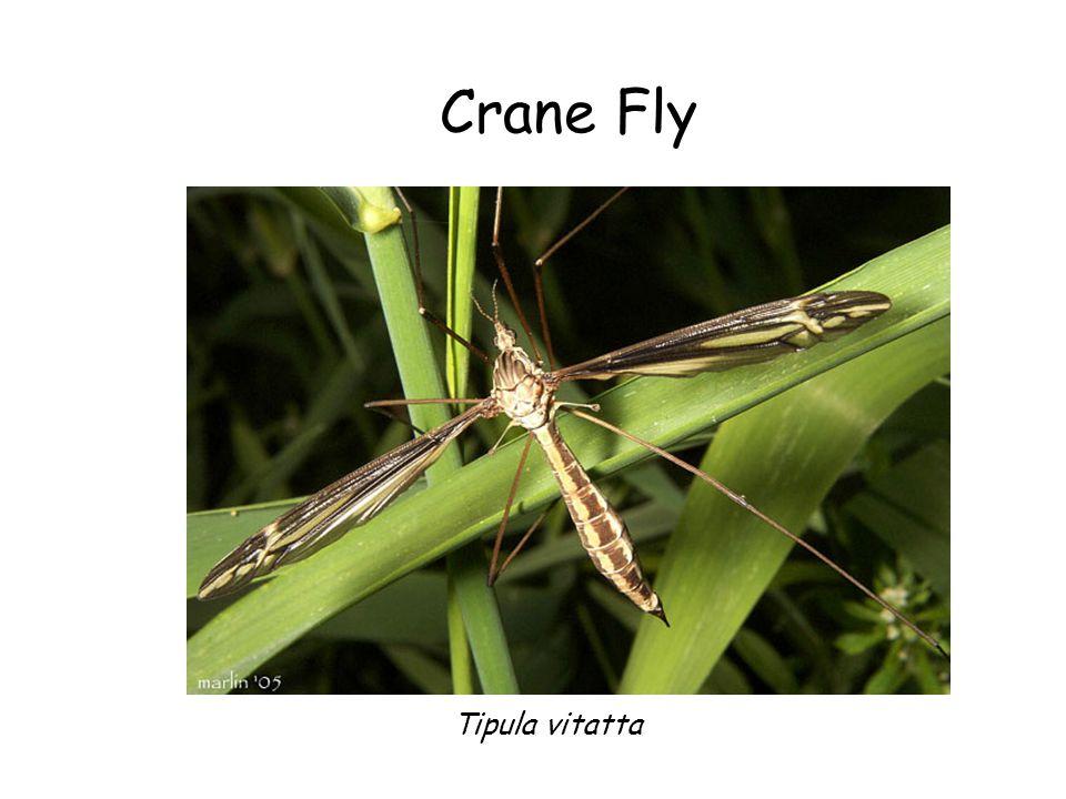 Crane Fly Crane Fly Tipula vitatta Tipula vitatta