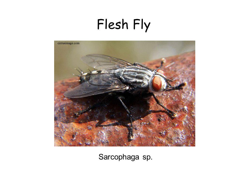 Flesh Fly Flesh Fly Sarcophaga sp. Sarcophaga sp.