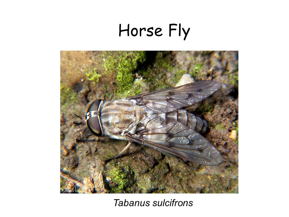 Horse Fly Horse Fly Tabanus sulcifrons Tabanus sulcifrons