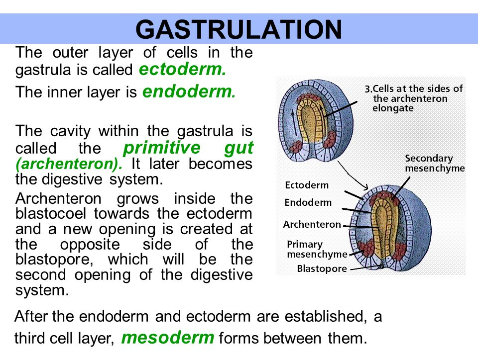 GASTRULATION The inner layer is endoderm.