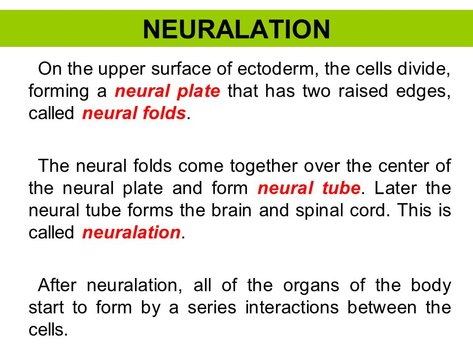 NEURALATION On the upper surface of ectoderm, the cells divide, forming a neural plate that has two raised edges, called neural folds.