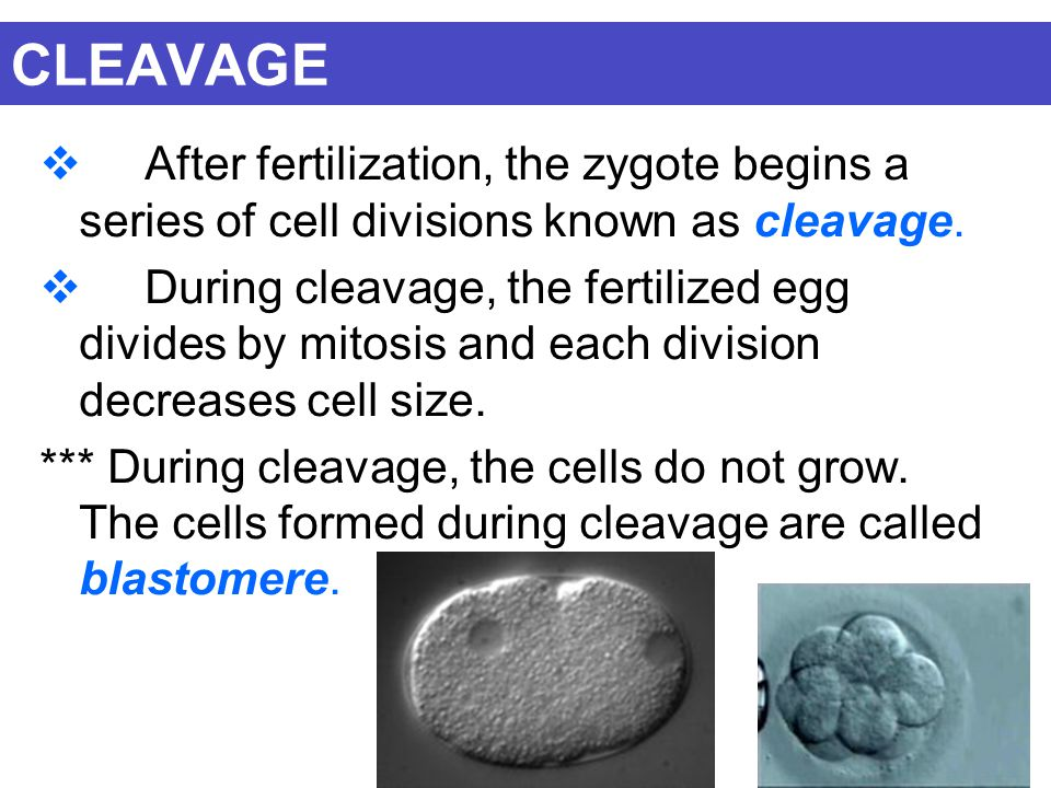 CLEAVAGE After fertilization, the zygote begins a series of cell divisions known as cleavage.