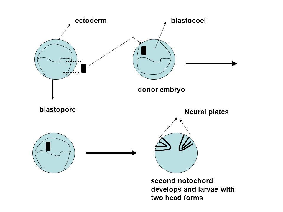 ectoderm blastocoel. donor embryo. blastopore.