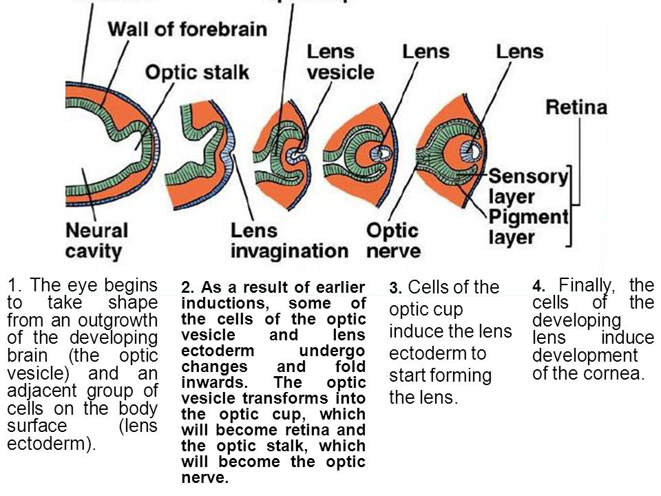 1. The eye begins to take shape from an outgrowth of the developing brain (the optic vesicle) and an adjacent group of cells on the body surface (lens ectoderm).