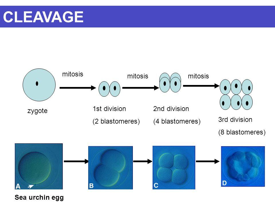 CLEAVAGE mitosis mitosis mitosis 1st division (2 blastomeres)