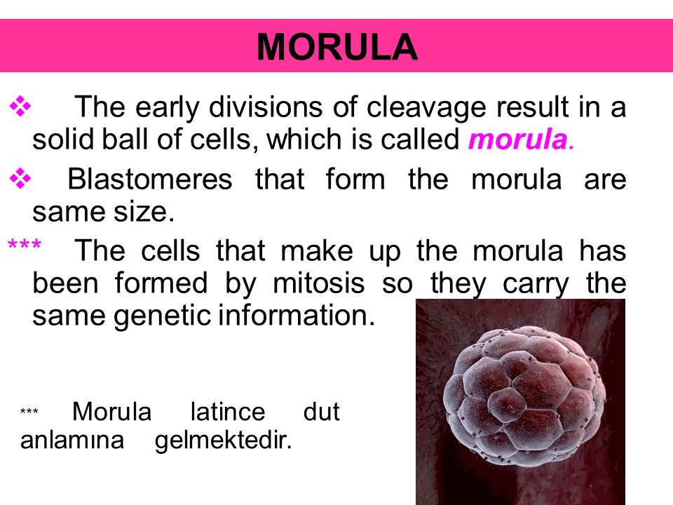 MORULA The early divisions of cleavage result in a solid ball of cells, which is called morula. Blastomeres that form the morula are same size.