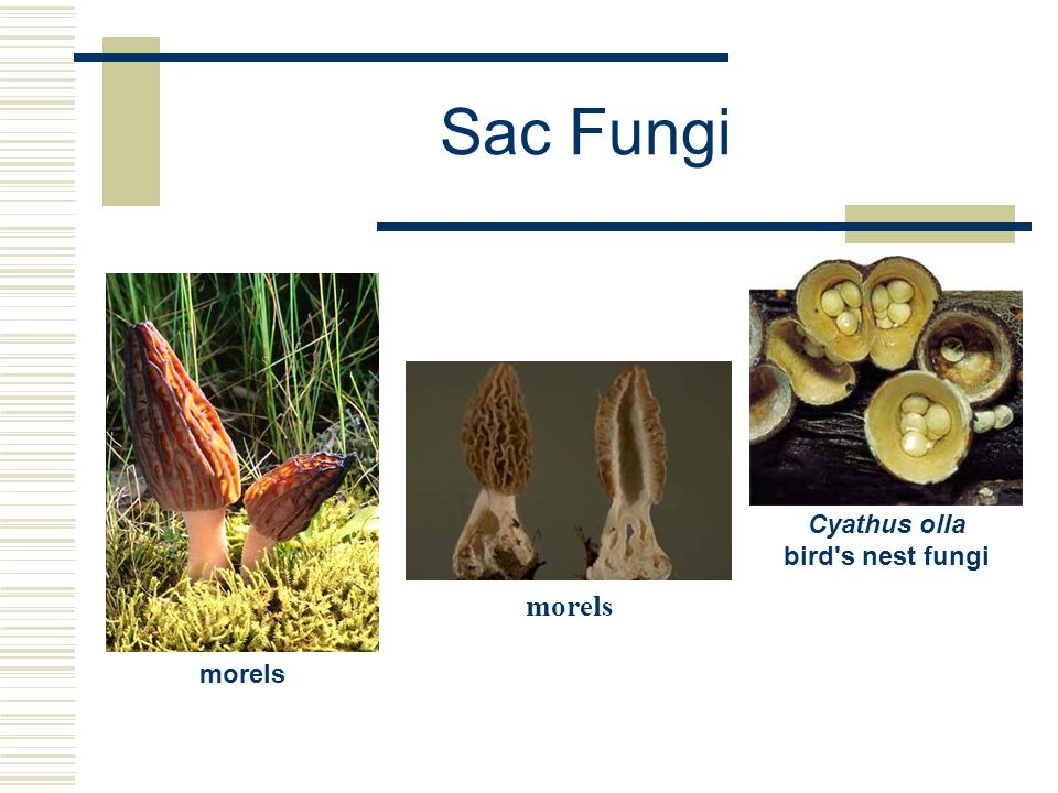 Cyathus olla bird s nest fungi