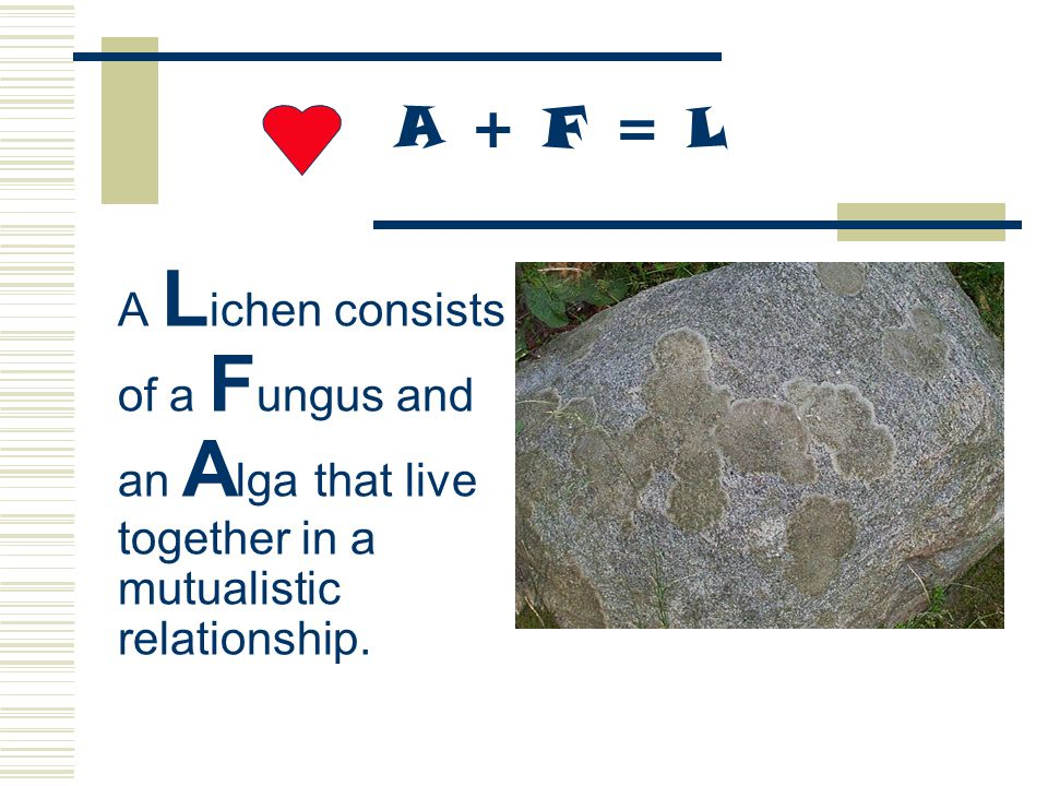 A + F = L A Lichen consists of a Fungus and an Alga that live together in a mutualistic relationship.