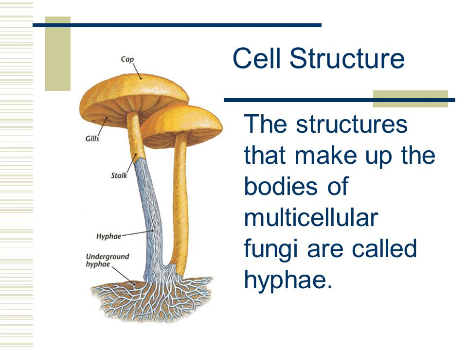 Cell Structure The structures that make up the bodies of multicellular fungi are called hyphae.