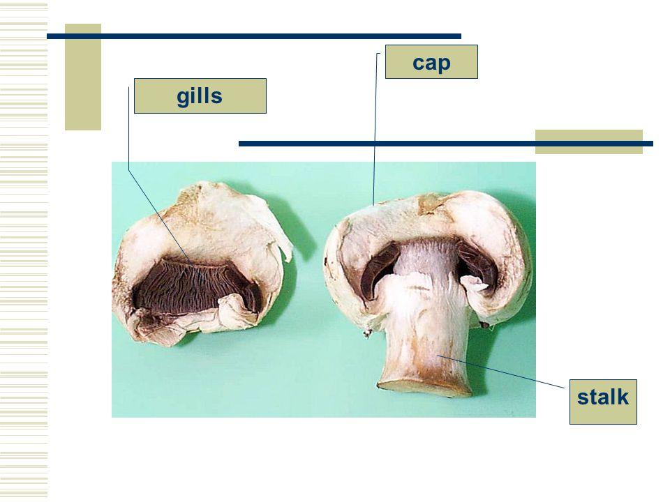 cap gills stalk