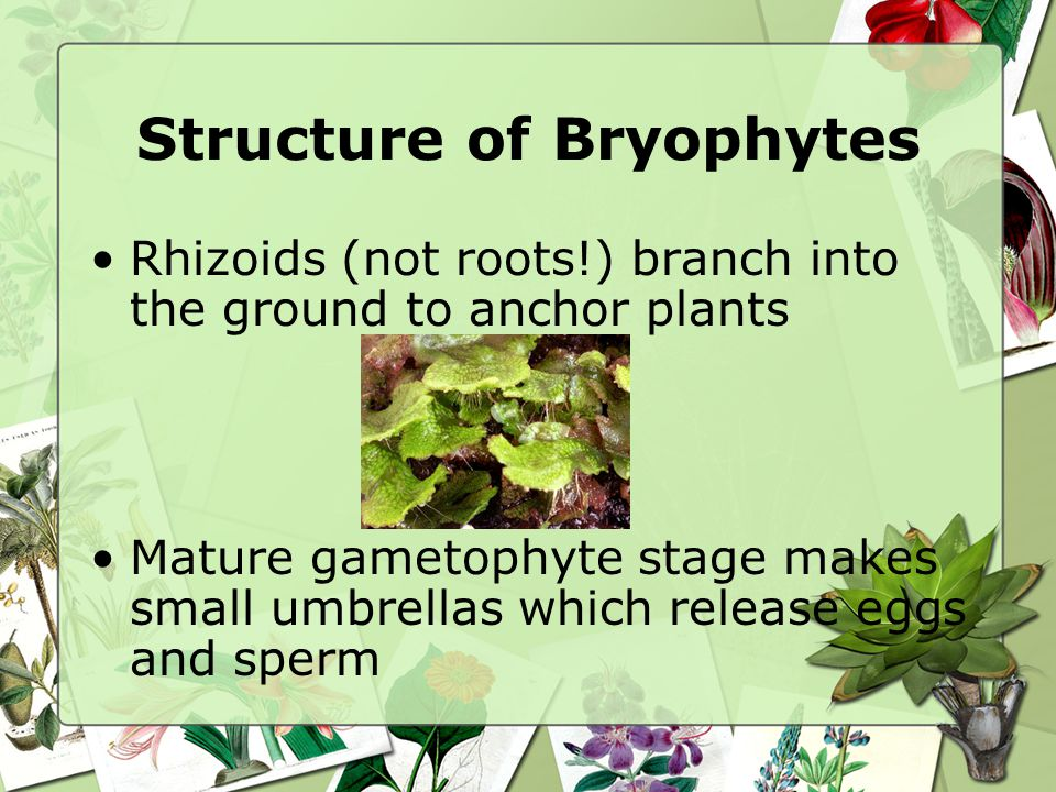 Structure of Bryophytes