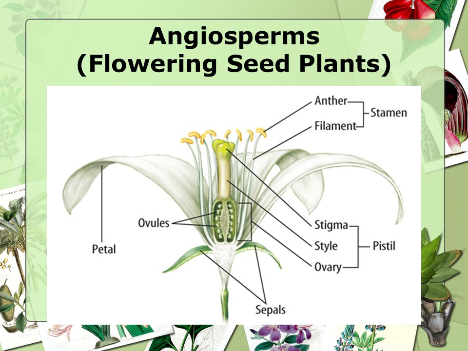 Angiosperms (Flowering Seed Plants)