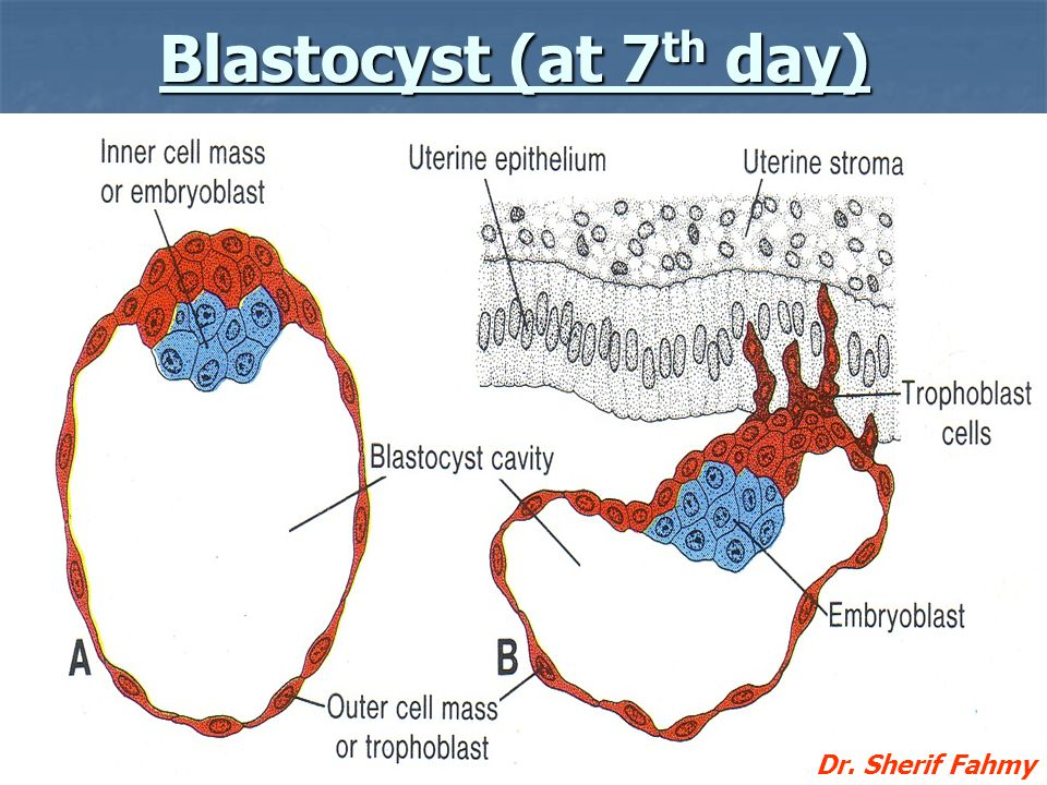 Blastocyst (at 7th day) Dr. Sherif Fahmy
