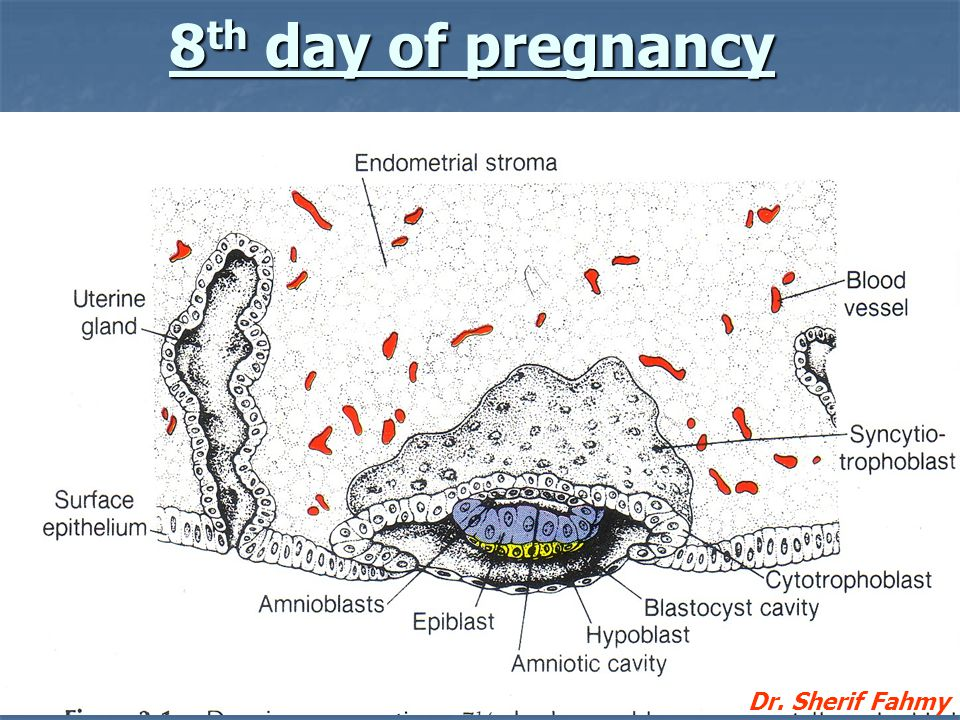 8th day of pregnancy Dr. Sherif Fahmy