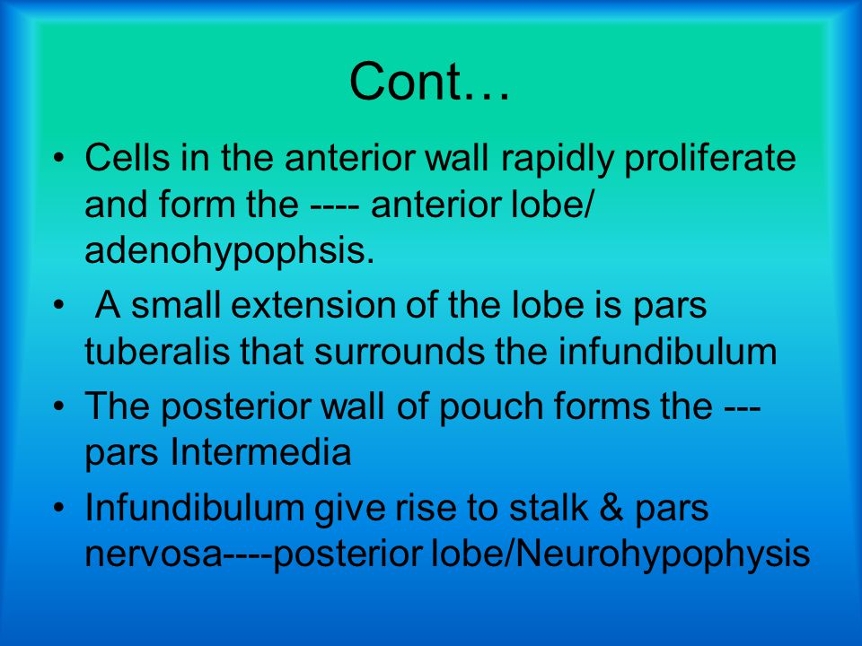 Cont… Cells in the anterior wall rapidly proliferate and form the ---- anterior lobe/ adenohypophsis.