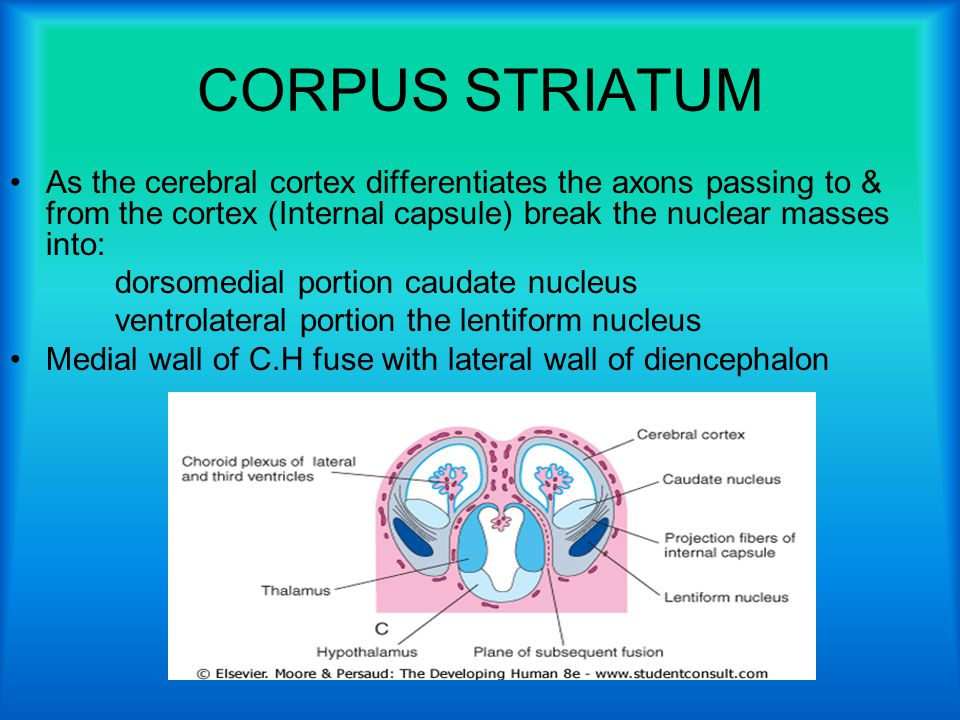 CORPUS STRIATUM As the cerebral cortex differentiates the axons passing to & from the cortex (Internal capsule) break the nuclear masses into: