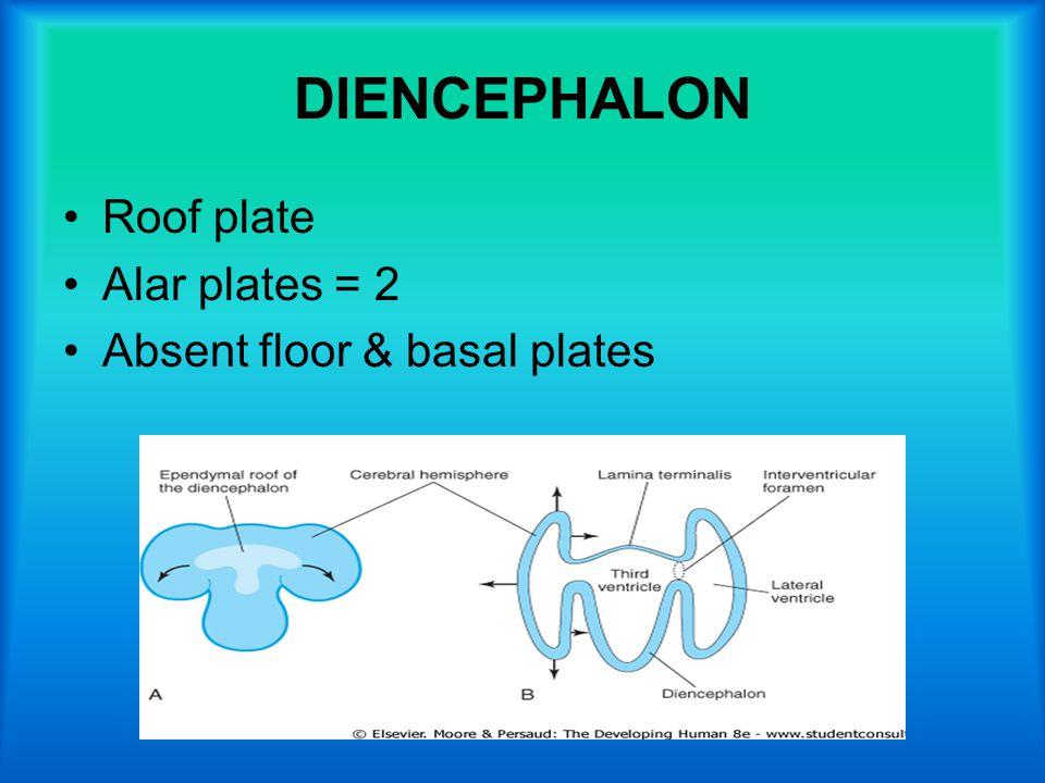 DIENCEPHALON Roof plate Alar plates = 2 Absent floor & basal plates