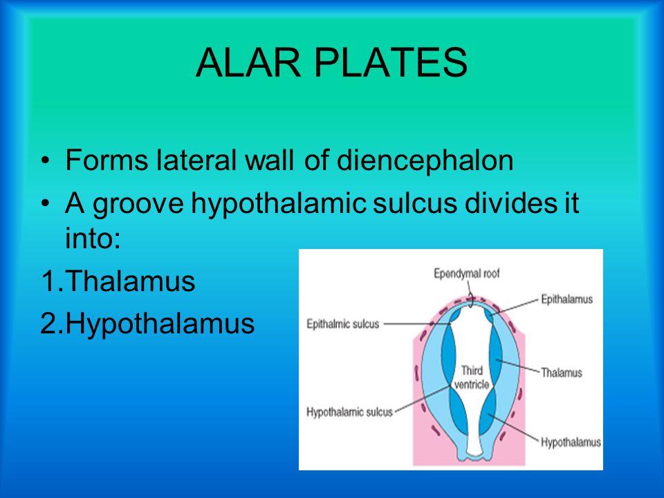 ALAR PLATES Forms lateral wall of diencephalon