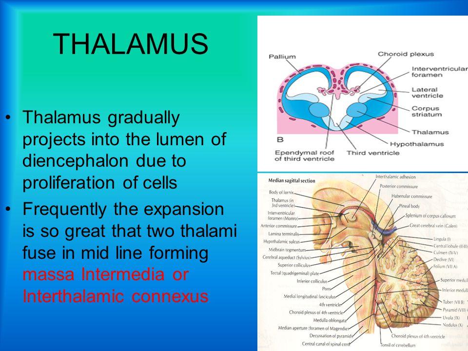 THALAMUS Thalamus gradually projects into the lumen of diencephalon due to proliferation of cells.