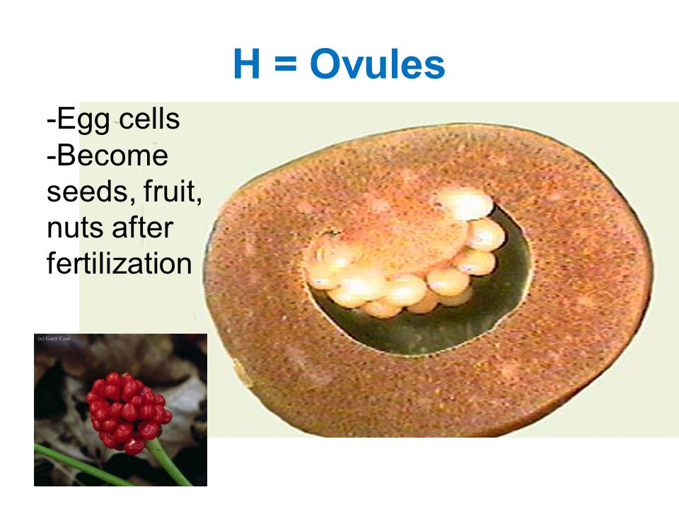 H = Ovules -Egg cells -Become seeds, fruit, nuts after fertilization