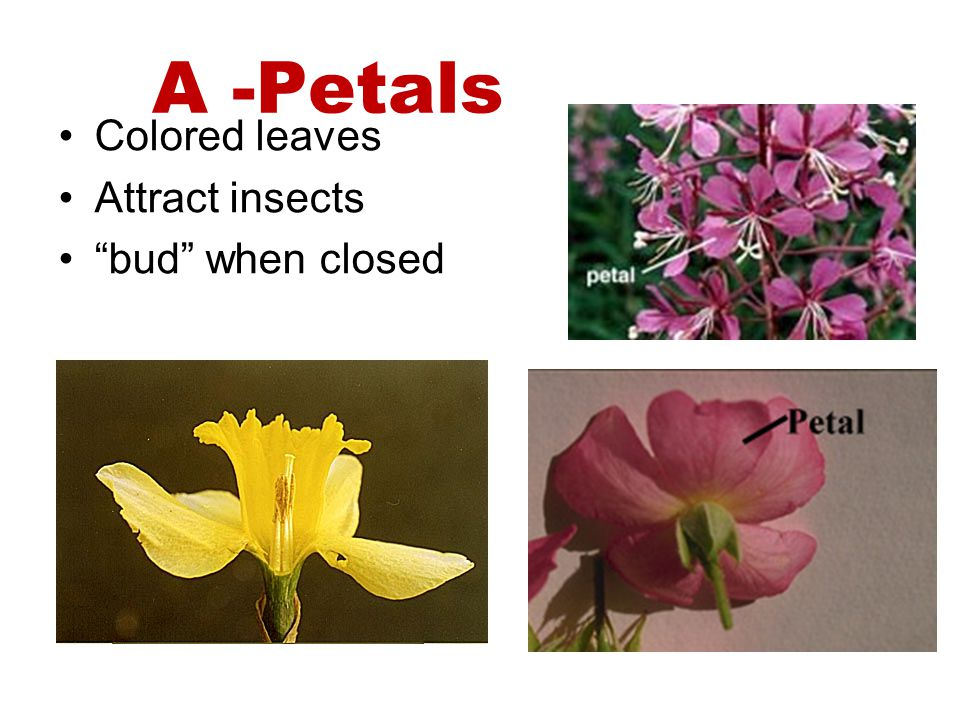 A -Petals Colored leaves Attract insects bud when closed
