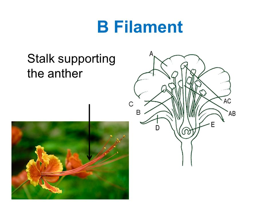 B Filament Stalk supporting the anther C B