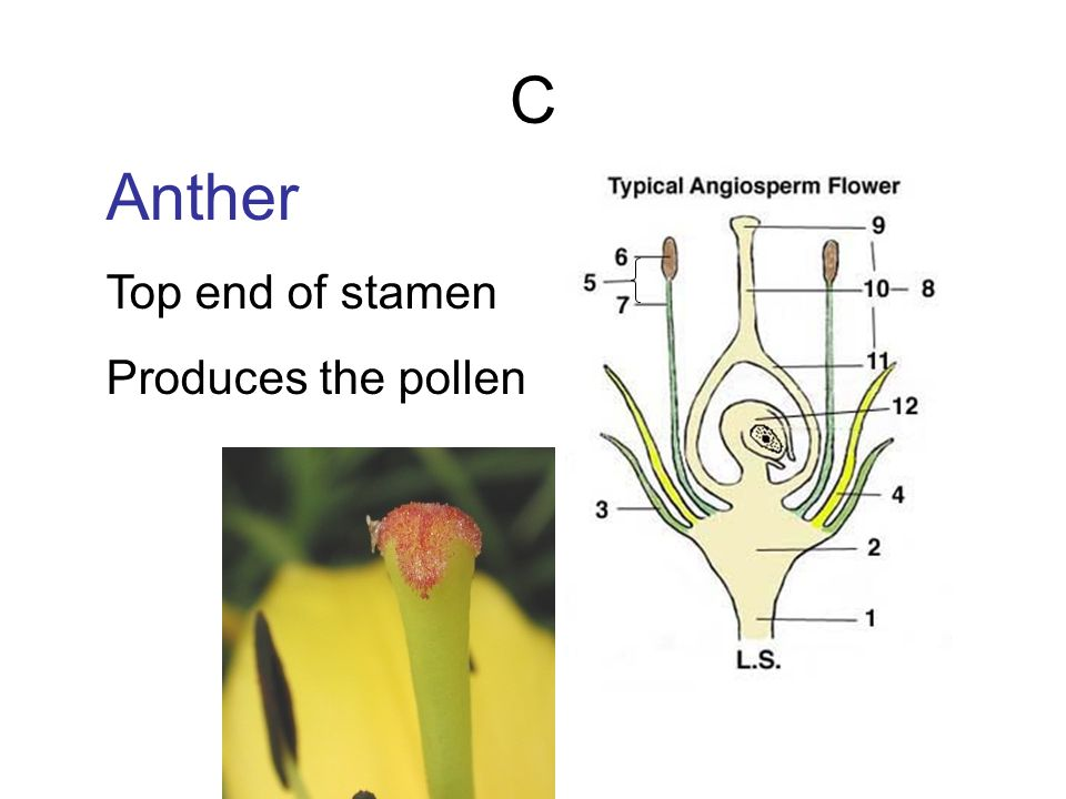 C Anther Top end of stamen Produces the pollen