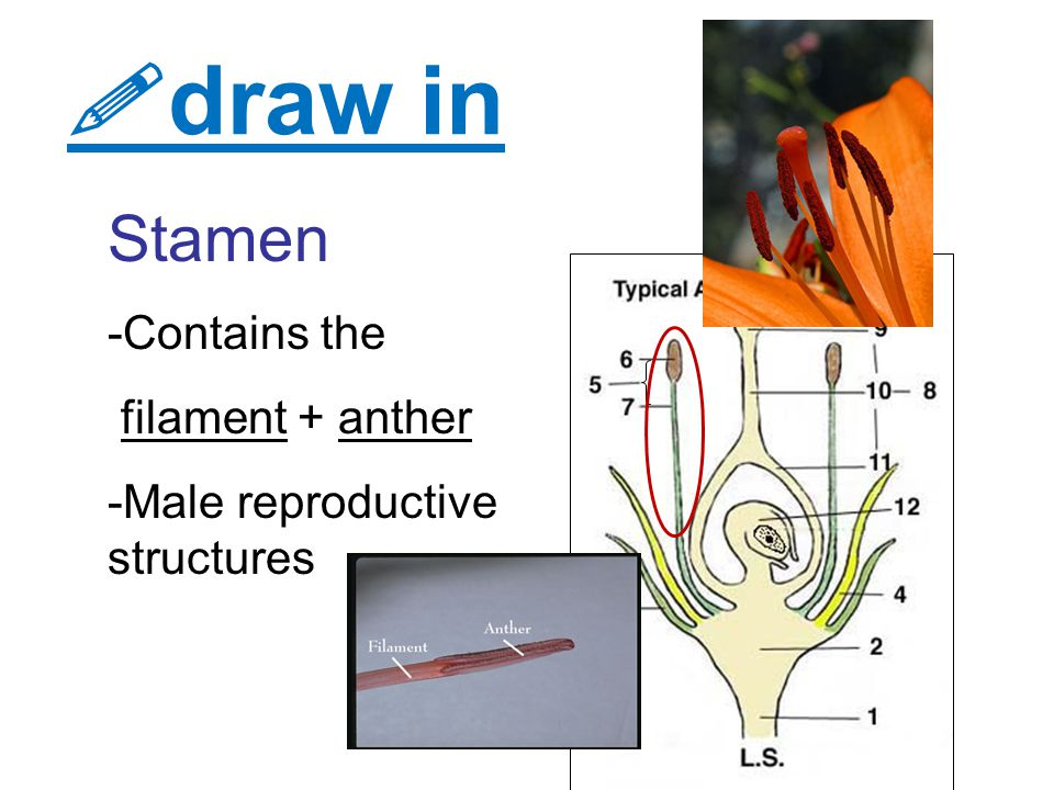 draw in Stamen -Contains the filament + anther