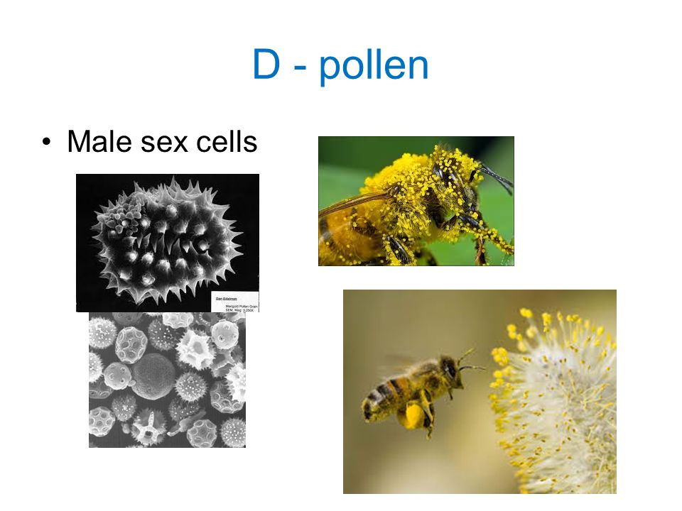 D - pollen Male sex cells