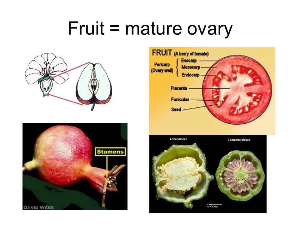 Fruit = mature ovary