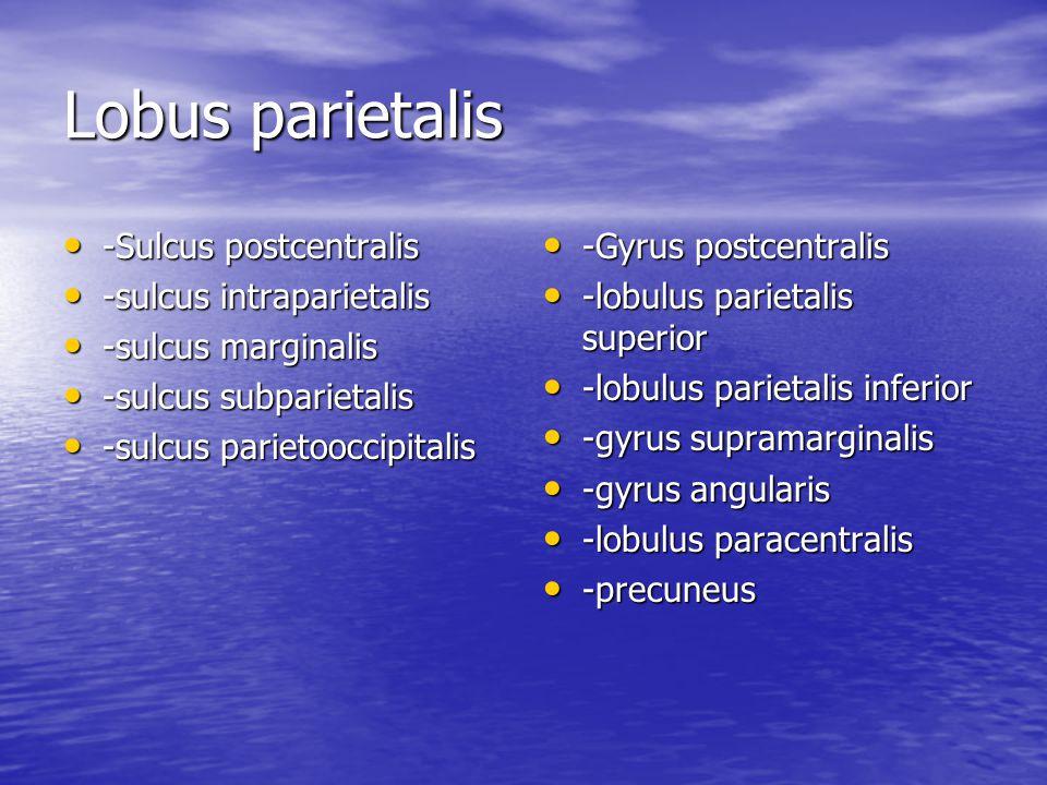 Lobus parietalis -Sulcus postcentralis -sulcus intraparietalis