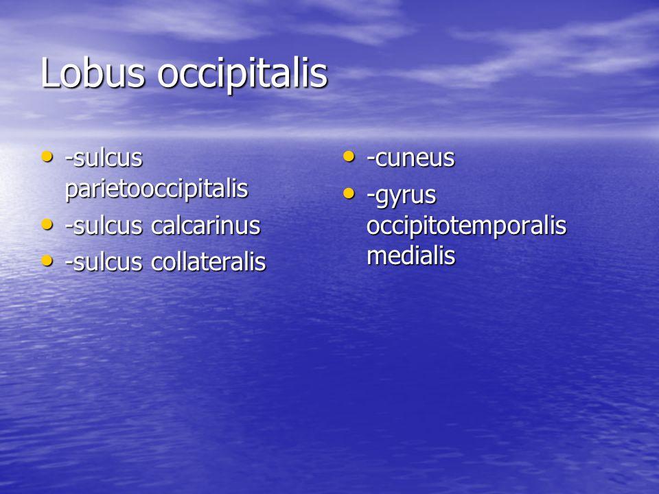 Lobus occipitalis -sulcus parietooccipitalis -sulcus calcarinus