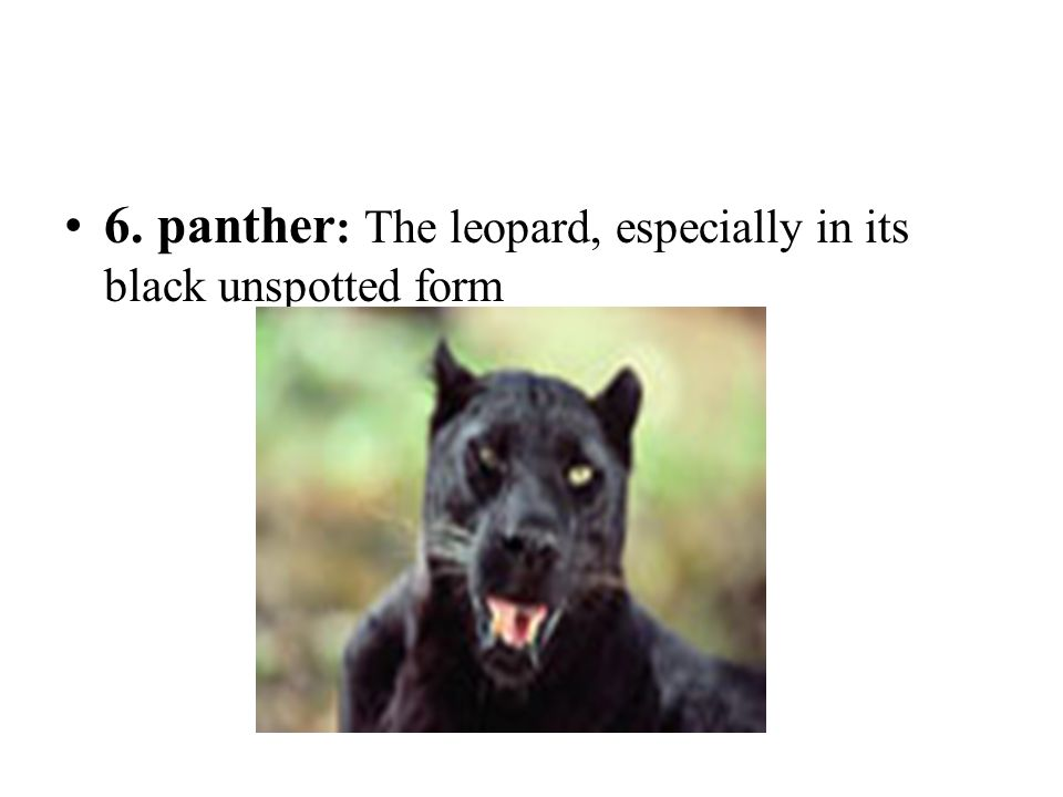 6. panther: The leopard, especially in its black unspotted form