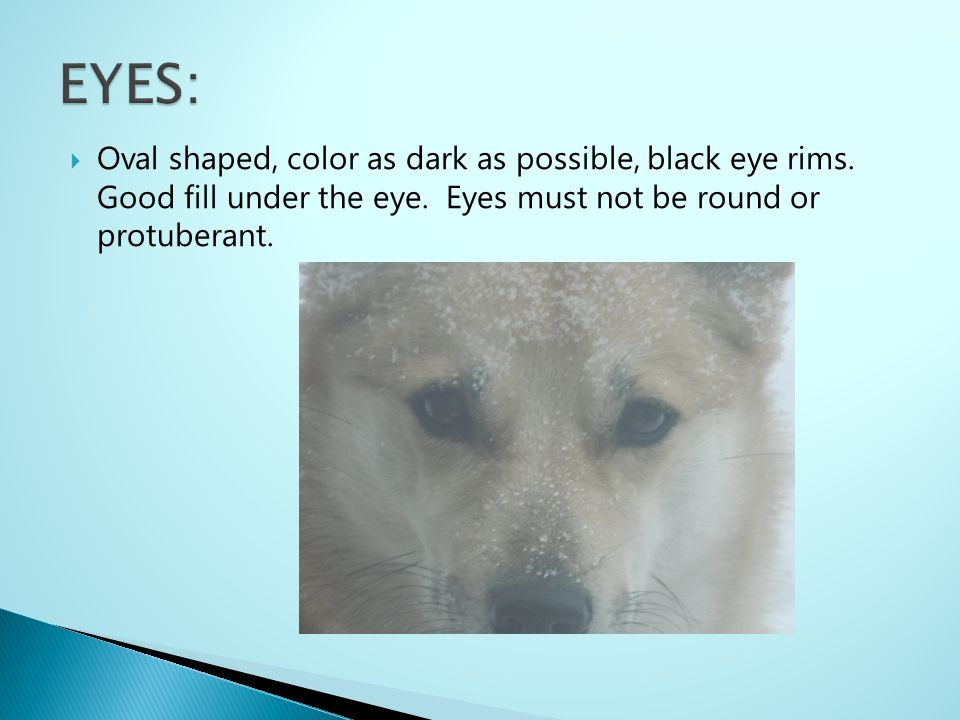 EYES: Oval shaped, color as dark as possible, black eye rims.