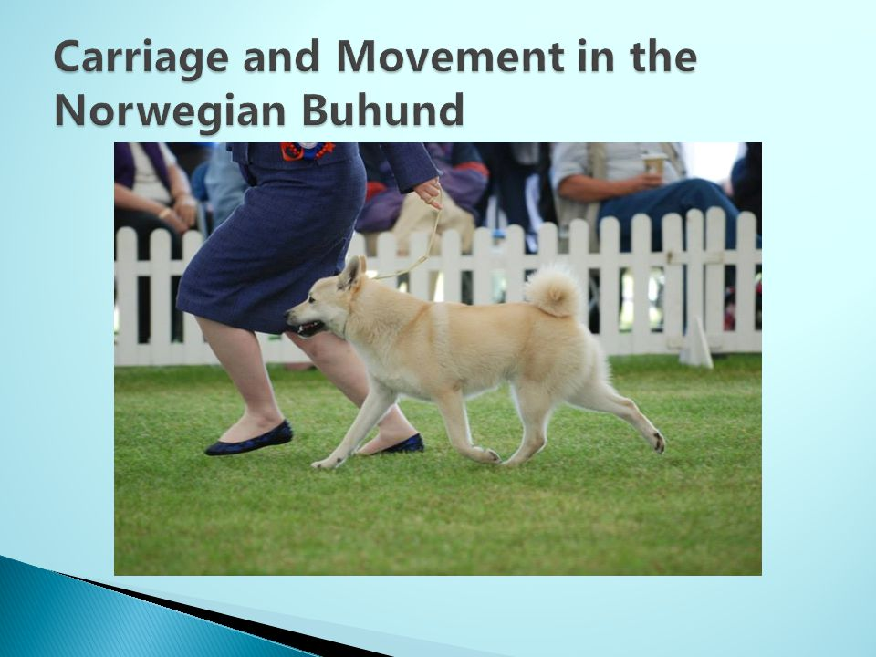 Carriage and Movement in the Norwegian Buhund